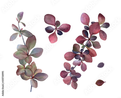 Leafed purple & green barberry branches set hand drawn in watercolor isolated on a white background Wallpaper Mural