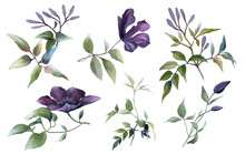 Picturesque Clematis Branches Set With Purple Buds, Flowers And Green Leaves Hand Drawn In Watercolor Isolated On A White Background. Floral Elements For Arrangements.Watercolor Botanical Illustration