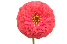 Red Colored Zinnia