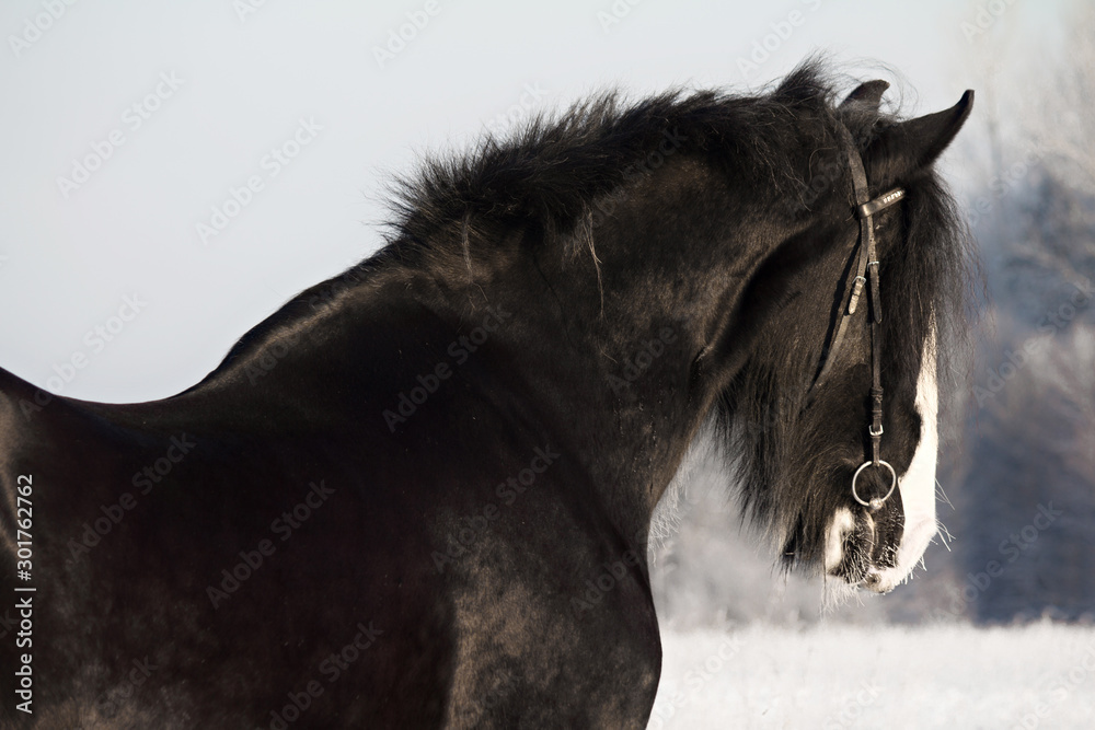 Beautiful grey black shire stallion running in winter