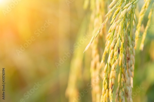 Obraz Closed up of green rice farm field in local area of Thailand. - fototapety do salonu