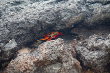 Red Crab Hiding - Galápagos I...