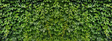 Wall Of Natural Leaves Of Green Creeper. Texture. Panorama. Big Size