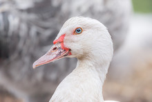 White Muscovy Duck Portrait Looking Into The Camera.