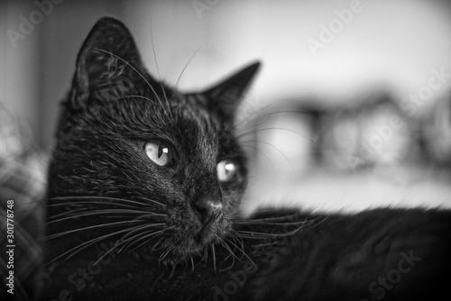 Chat noir nommé Nestor le lustre Wallpaper Mural