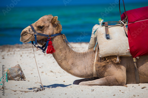 Fond de hotte en verre imprimé Chameau Camel against blue sky. Camel is traditional arab desert animal