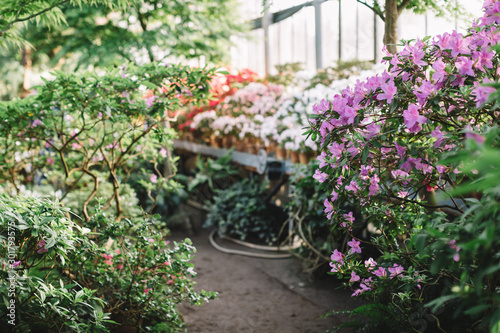 Photo of colorful blooming pink Azalea flowers in conservatory/orangery. White blossoms on background. Selective focus on flowering Rhododendrons florets. Beauty daylight. Love of nature concept.