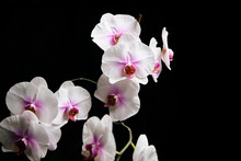 Orchid Flower Blossom Isolated...