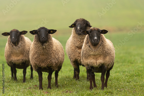 Photo a group of sheep on a pasture stand next to each other and look into the camera