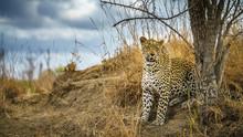 Leopard In Kruger National Park, Mpumalanga, South Africa 164