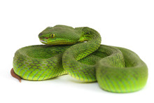 Close Up White-lipped Green Pi...
