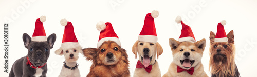 Fotografia, Obraz happy christmas dogs in a line wearing santa hats