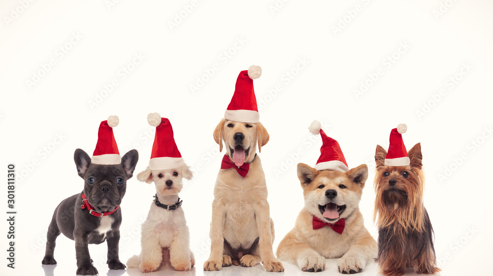 Fototapety, obrazy: adorable group of little santa claus dogs celebrating christmas