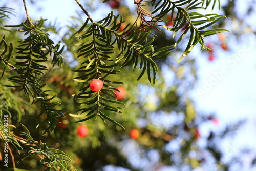 Yew with red seed capsules, natural Christmas tree, copy space, background Canvas Print