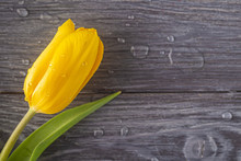 Single Yellow Tulip With Drops...