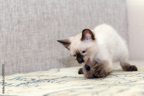 Fotografia, Obraz  The little kitten caught the toy with its claws.