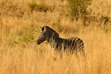 A Mountain Zebra (Equus Zebra) In Grassland With Dry Grass In Background. Young Zebra In Pilanesberg Game Reserve.