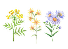 Wild Flowers Set, Watercolor Illustration