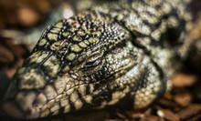 The Head Of A Sleeping Lizard