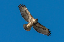 Red-Tailed Hawk In Flight Agai...