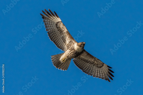 Photo Red-Tailed Hawk in flight against a blue sky