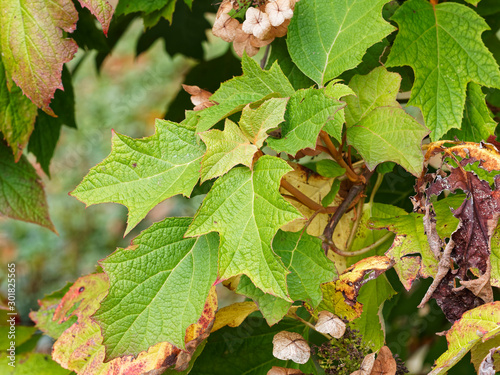 Oakleaf hydrangea in fall color (Hydrangea quercifolia) Canvas Print