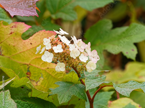 Hydrangea quercifolia  | Oakleaf hydrangea with white flower to pink and rusty-b Canvas Print