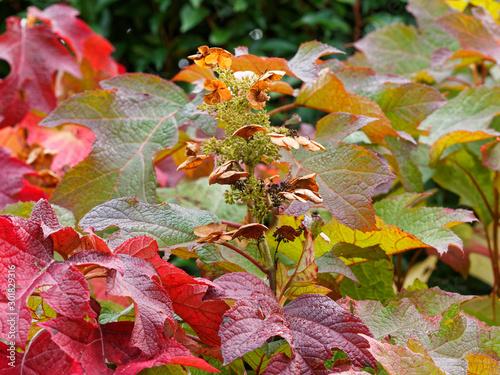 Photo Hydrangea quercifolia  |  Oakleaf hydrangea or oak-leaved hydrangea with rusty-b