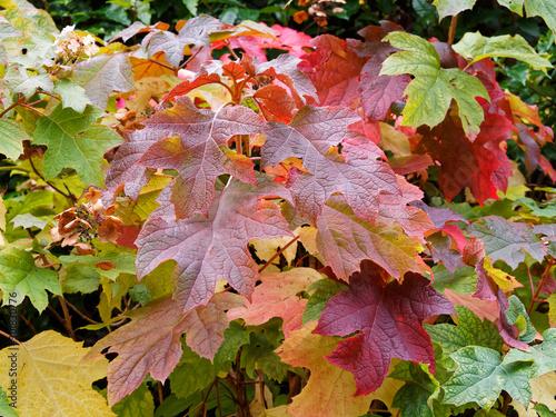 Hydrangea quercifolia  |  Oakleaf hydrangea or oak-leaved hydrangea with rusty-b Canvas Print