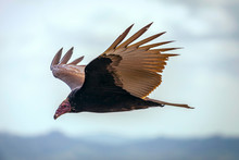 Turkey Vulture In Flight. Turk...