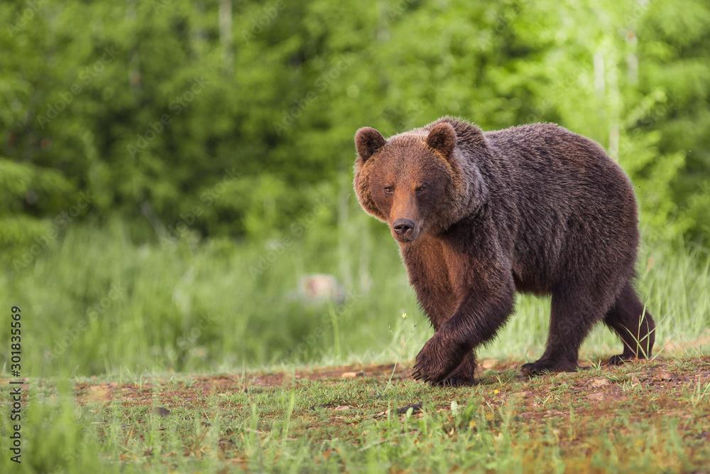 Fototapety, obrazy: European Brown Bear, [Ursus arctos] Slovakia