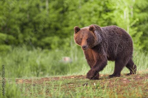 Obraz European Brown Bear, [Ursus arctos] Slovakia - fototapety do salonu