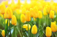 Spring Blossoming Yellow Tulips, Bokeh Flower Background, Pastel And Soft Floral Card, Selective Focus, Toned