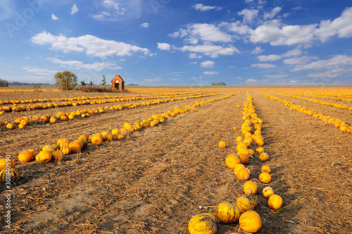 Pumpkin patch. Field full of pumpkins ready to harvest under the picturesque cloudy sky. #301840590