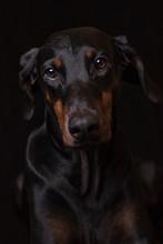 Dobermann Portrait