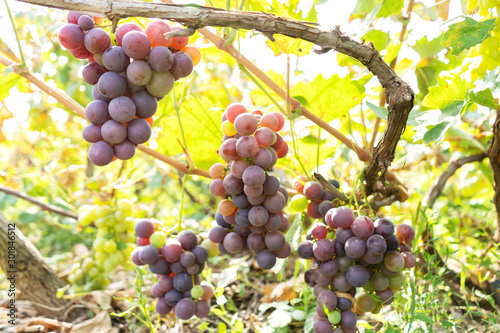 Foto auf Leinwand Gelb intertwined juicy fruit of grapes in a green garden