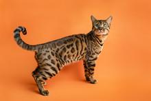 Beautiful Bengal Cat On Orange Background Looking Away