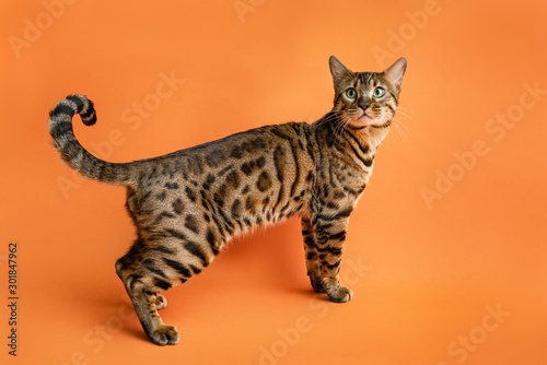 Beautiful Bengal Cat on orange background looking away Canvas Print