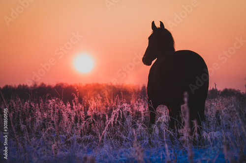 Poster de jardin Corail Black horse running at sunset