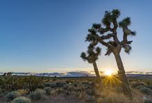 USA, Nevada, Clark County, Toquop Wash Sunset. Sun With Brillant Rays Setting Though A Pair Of Jaeger's Joashua Trees (Yucca Jaegeriana)