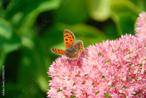 close up of an American copper butterfly resting on a pink sedum flower. feeding on flower