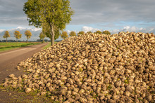 Recently Harvested Sugar Beets Waiting For Transport