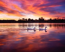 Sunset Swans On Lake