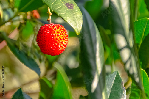 Arbutus unedo is an evergreen shrub or small tree in the family Ericaceae known Canvas Print