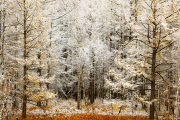 Fototapeta Zima Christmas Background. trees in winter. The snowy woods. The first snow fall of the larch