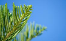 Green Branch Of Araucaria Hete...