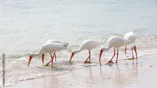 Photo White Ibis (Eudocimus albus) foraging in the shallow surf on a beach in St