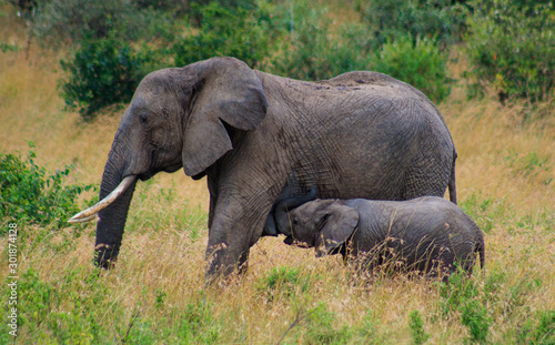 elephant milking in Serengeti National Park safari