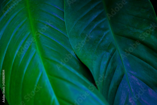 Keuken foto achterwand Texturen Exotic colorful flowers on a dark tropical leaf background, nature, tropical foliage in Asia