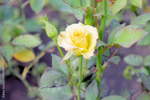 Valokuva Yellow Rosa.